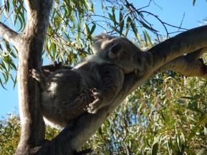 Koala 4 CP
